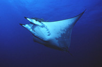 Mobula mobular, Devil fish: