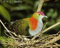 Superb Fruit Dove - Ptilinopus superbus