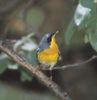 Tropical Parula (Parula pitiayumi) photo