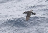 South Georgian Diving-Petrel (Pelecanoides georgicus) photo