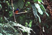 Blue-eared Kingfisher - Alcedo meninting