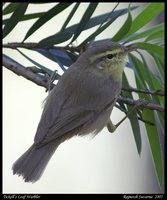 Tickell's Leaf-Warbler - Phylloscopus affinis