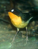 Forest Robin - Stiphrornis erythrothorax