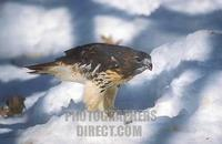 Red tailed Hawk with prey in snow stock photo