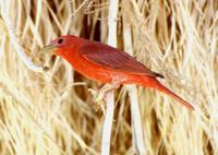 : Piranga rubra; Summer Tanager