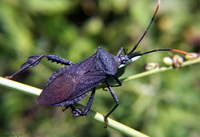 : Acanthocephala terminalis; Leaf-footed Bug