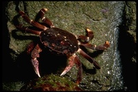 : Hemigrapsus nudus; Purple Shore Crab
