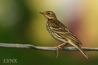 Red-throated Pipit 紅喉鷚