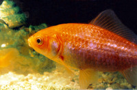 Carassius auratus auratus, Goldfish: fisheries, aquaculture, gamefish, aquarium, bait