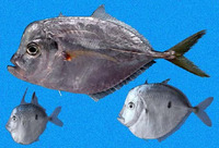 Selene peruviana, Pacific moonfish: fisheries
