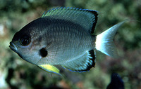 Chromis leucura, Whitetail chromis: aquarium