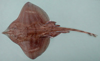 Leucoraja fullonica, Shagreen ray: fisheries