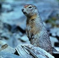 Image of: Spermophilus undulatus (long-tailed ground squirrel)