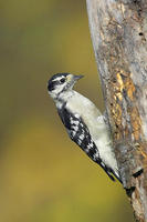 Image of: Picoides pubescens (downy woodpecker)