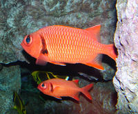 Image of: Myripristis murdjan (blacktipped soldierfish)