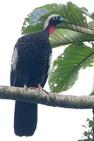 Black-fronted Piping-Guan - Pipile jacutinga