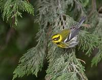 Townsend's Warbler (Dendroica townsendi) photo