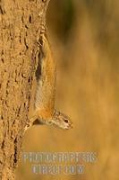 trre squirrel standing facing downwards on tree trunk stock photo