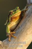 European tree frog ( Hyla arborea ) stock photo