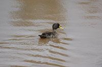 : Anas undulata; Yellow Billed Duck