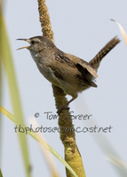 : Cistothorus palustris; Marsh Wren