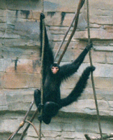 Black spider monkey (Ateles paniscus)