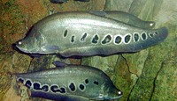 Chitala chitala, Clown knifefish: fisheries, aquaculture, gamefish, aquarium
