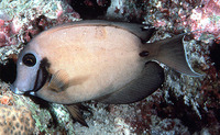 Acanthurus tristis, Indian Ocean mimic surgeonfish: aquarium