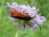 Zygaena purpuralis - Transparent Burnet