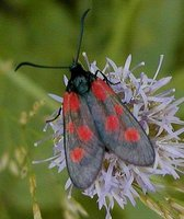 Zygaena viciae - New Forest Burnet