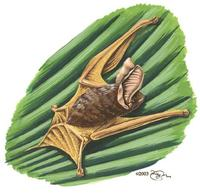 Image of: Myzopoda aurita (sucker-footed bat)
