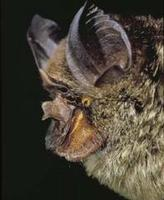 Image of: Rhinolophus virgo (yellow-faced horseshoe bat)