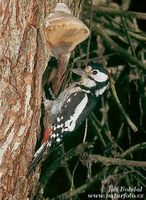 Dendrocopos major - Great Spotted Woodpecker