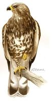 Image of: Buteo lagopus (rough-legged hawk)