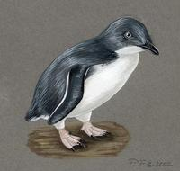 Image of: Eudyptula minor (little penguin)
