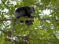 Trachypithecus vetulus - Purple-faced Leaf Monkey