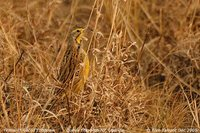 Yellow-throated Longclaw - Macronyx croceus