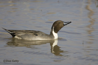 : Anas acuta; Northern Pintail