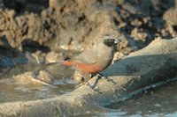: Estrilda erythronotos; Black-cheeked Waxbill