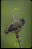 : Geospiza fortis; Galapagos Medium Ground Finch