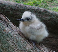 : Gygis alba rothschildi; White Tern (fairy) Chick