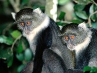 photograph of blue monkeys : Cercopithecus mitis