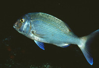 Pagrus pagrus, Common seabream: fisheries, aquaculture, gamefish, aquarium