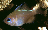Zoramia leptacantha, Threadfin cardinalfish: aquarium