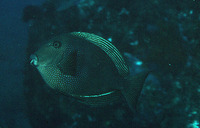 Ctenochaetus marginatus, Striped-fin surgeonfish: aquarium