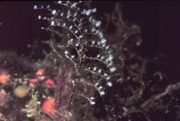 Pennaria disticha - Christmas Tree Hydroid