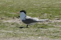 Sterna bergii - Great Crested-Tern