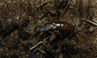 Image of: Dermaptera (earwigs)