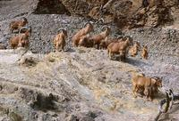 Ammotragus lervia - Barbary Sheep
