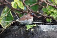 Image of: Lonchura punctulata (scaly-breasted munia)